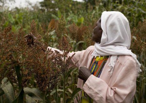 Female farmer inspecting sorghum crop