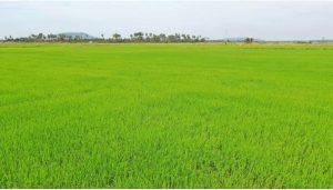 The rice field of a Tang Krasang Farmer Water User Community member