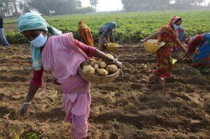 woman harvesting potatoes